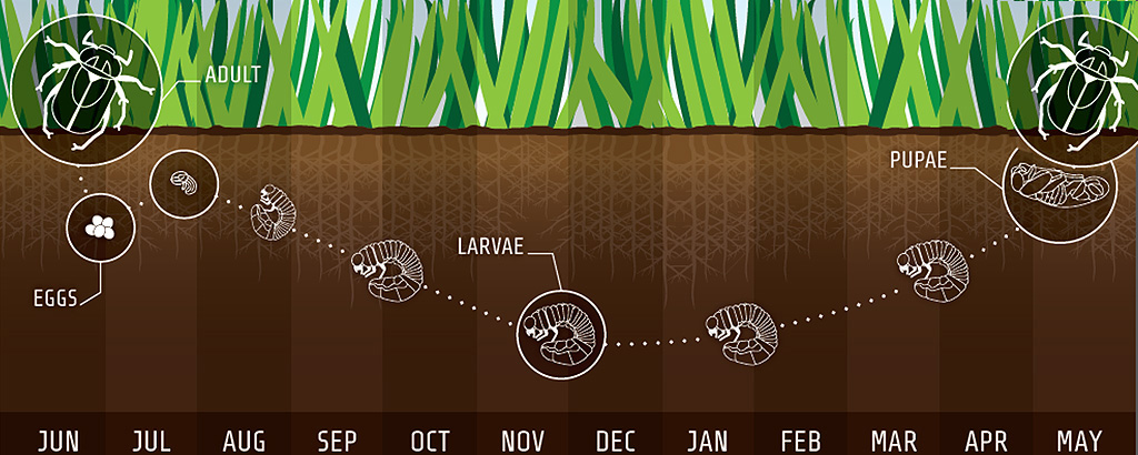 Garden Chafer lifecycle