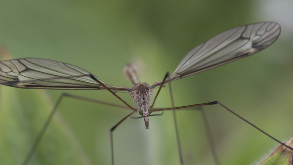 Daddy Long Legs - Crane Fly