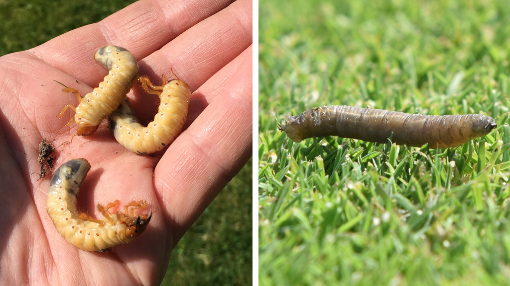 Chafer bugs and leatherjacket