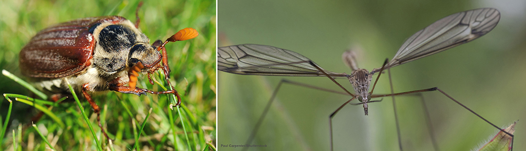 Adult chafer and crane fly
