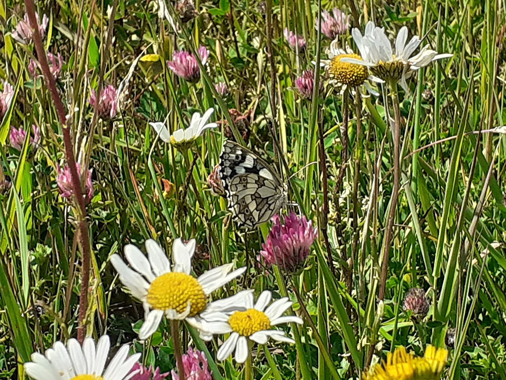 Cumberwell Park marbled white butterfly