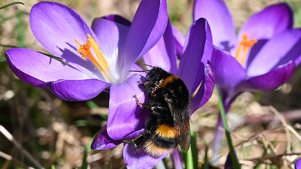 Bumblebee on crocus in spring