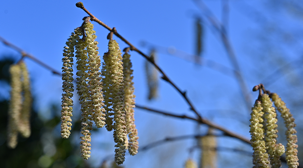 Catkins pollen source for bees