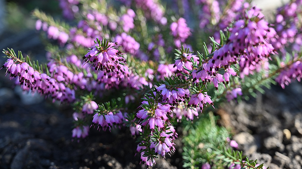 Heather pollen source for bees