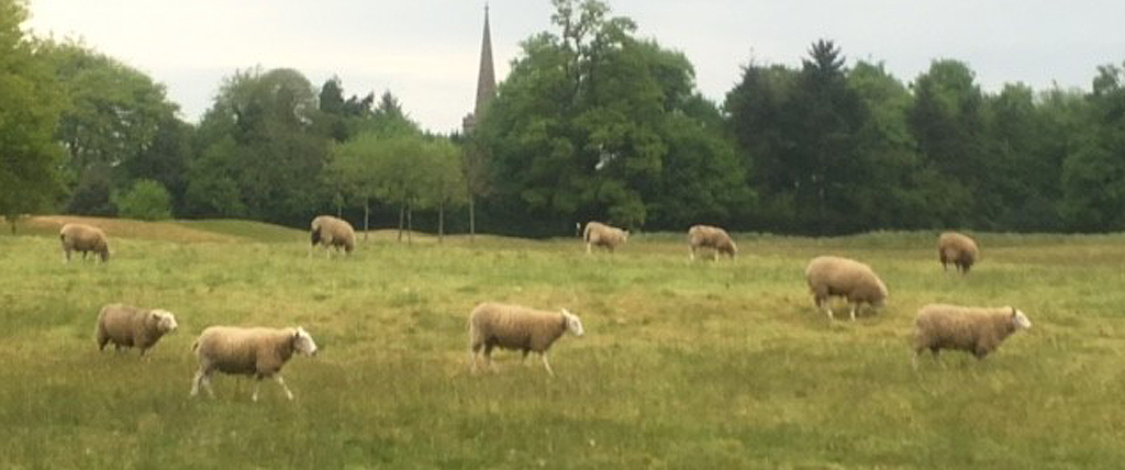 Sheep have been successfully grazed to thin rough areas at Bowood