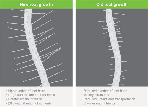 Root Hair Graphic