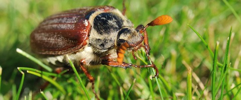 Cockchafer maybug