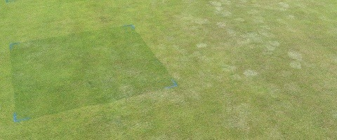 Stressed greens turf show effects of footmarks compared to Ryder treated trial