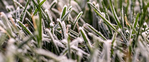 Frost on turf leaf