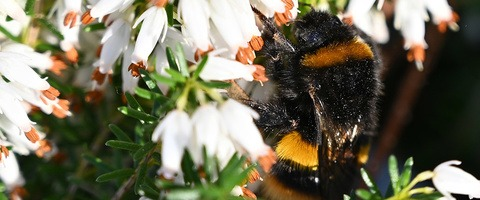 Bumblebee on heather in spring