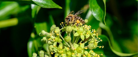 Bee on flowering ivy