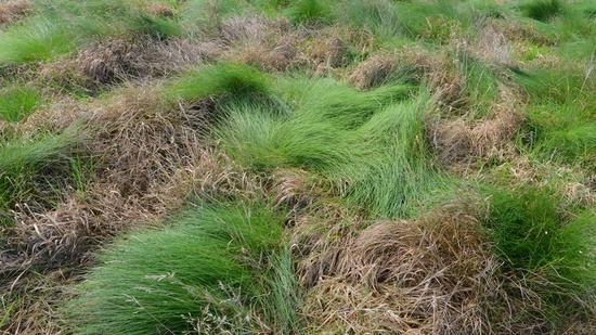 Result of Rescue treatment on coarse rough with grasses dying back