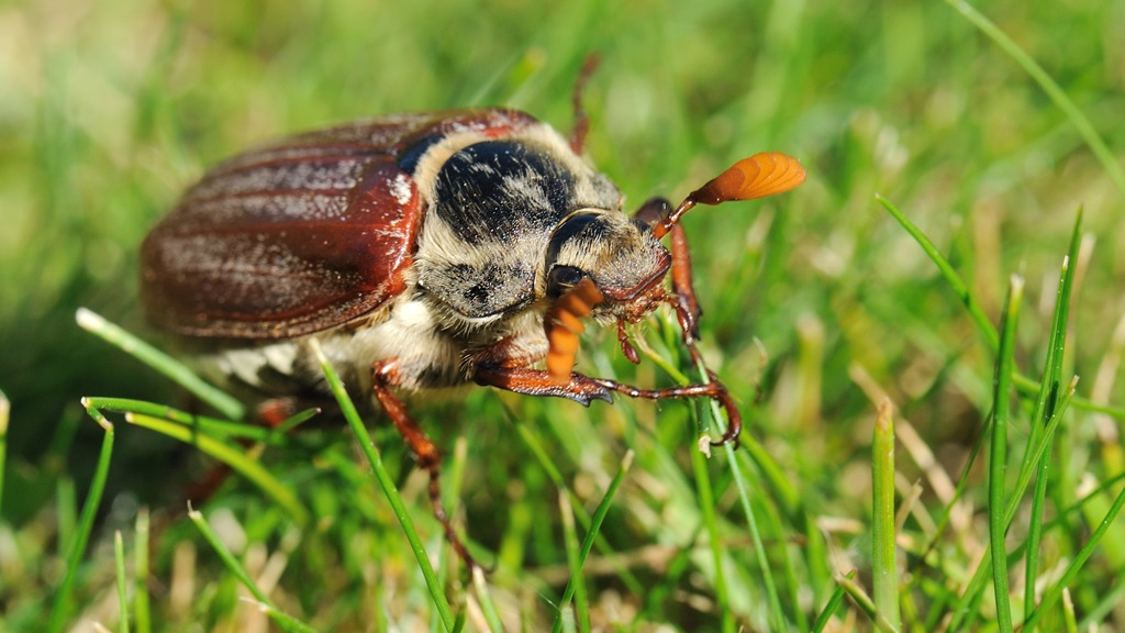 Cockchafer May Bug