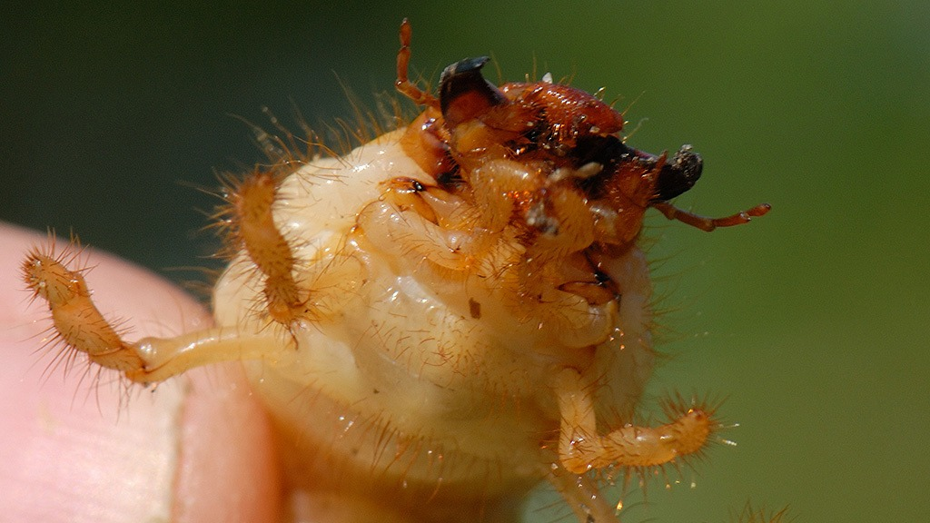 Chafer grub if not controlled early