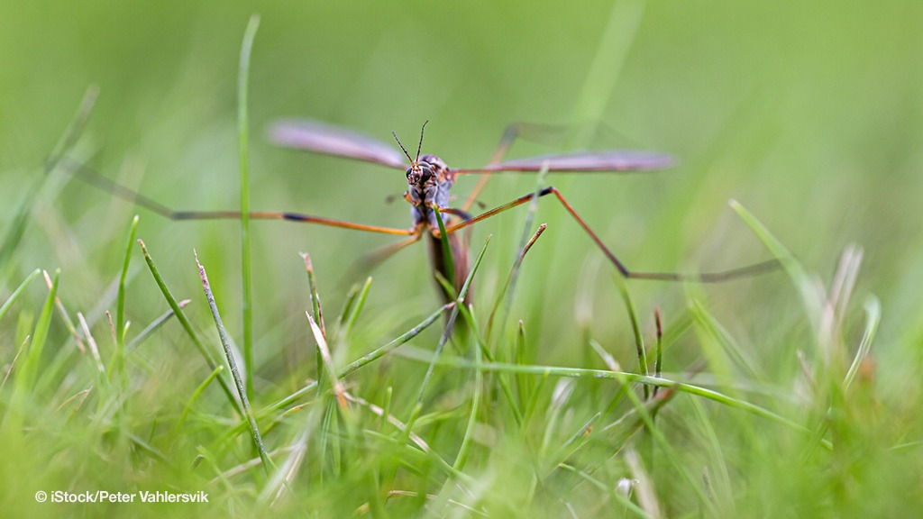 Crane fly egg laying